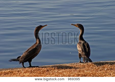 Pair Of Cormorants
