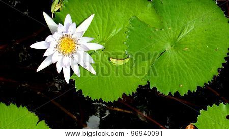 Close Up Shot Of White Petal Lotus In The Pool
