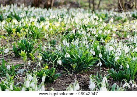 Vegetable carpet of snowdrops in spring wood