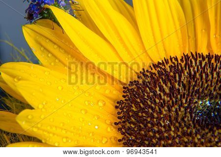 Macro Shot Of Yellow Sunflower Bloom With Water Drops