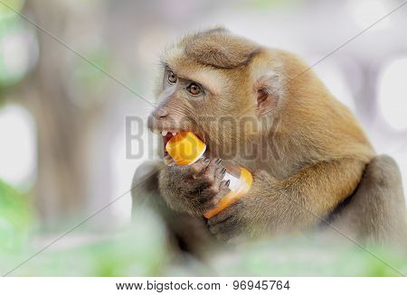 Candid  Monkey Trying To Open A Bottle Of Water With Mouth,shallow Depth Of Filed.