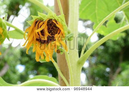 Withered Sunflower In The Garden