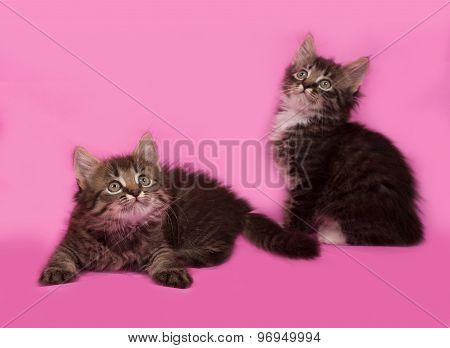 Two Siberian Fluffy Tabby Kitten Lies On Pink