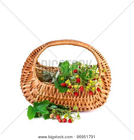 Basket of Wild Strawberries isolated on white background