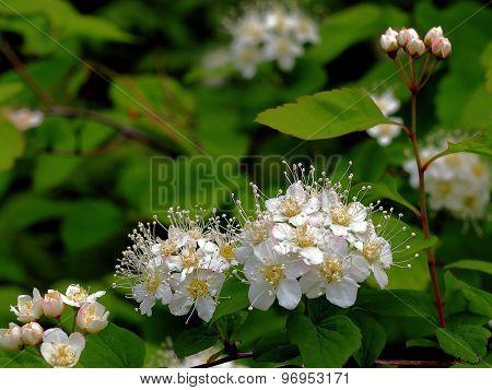 stamens white flowers