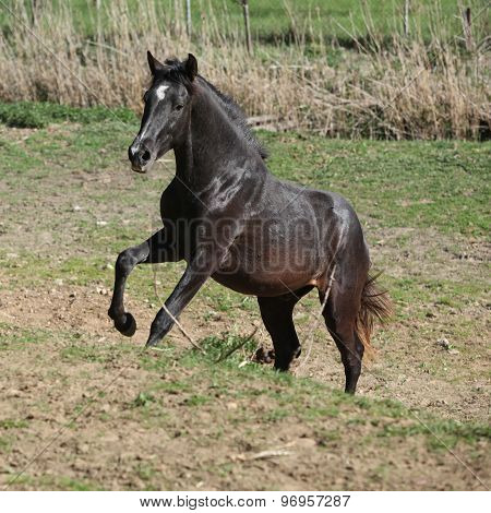Young Andalusian Stallion Running