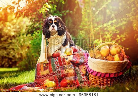 funny cavalier king charles spaniel dog sitting with apples in autumn garden near basket