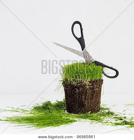 Grass in pod cut with scissors