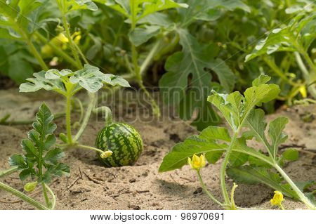 young small watermelon and flowers in the garden closeup
