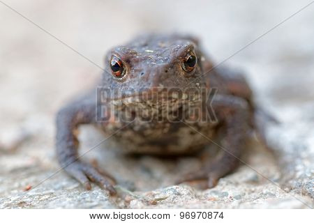 Baby Toad With Big Eyes Stairing