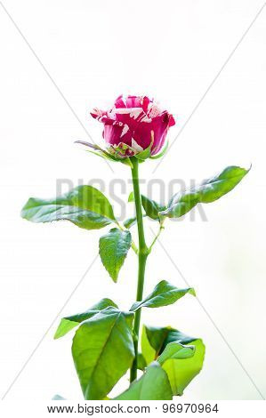 The Striped Rose
