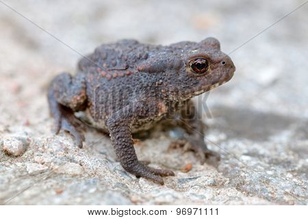 Side View Of Baby Toad With Big Eyes