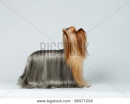 Yorkshire Terrier Dog In Profile Looking Up On White
