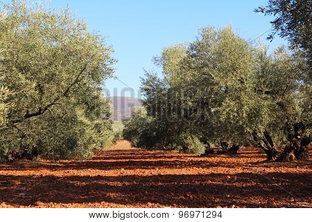 Olive Trees In Garden