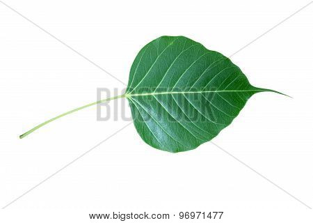 Green Bodhi  leaf  isolate on white background