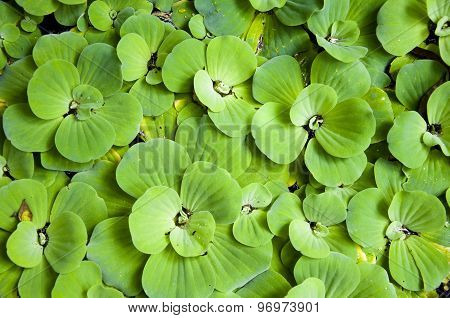Background with leaves of green water fern mosquito fern close up floating in a garden pond