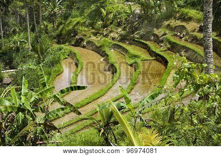 Rice field on Bali Indonesia