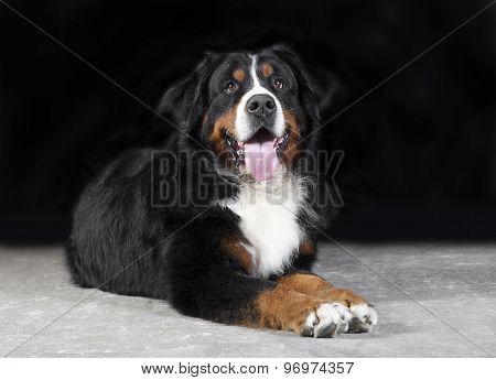 Bernese Mountain Dog Studio