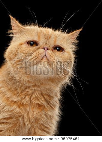 Closeup Portrait Of Exotic Ginger Shorthair Cat On Black