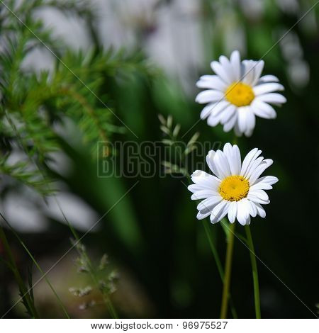Daisy Wildflower Closeup