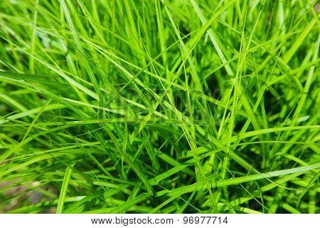 beautiful green grass. natural background