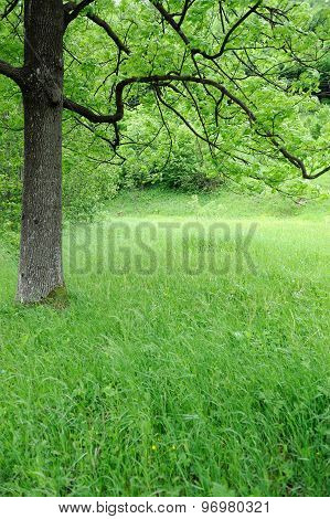 Spring Meadow With Big Tree