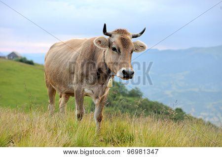 Cow On Mountain Pasture