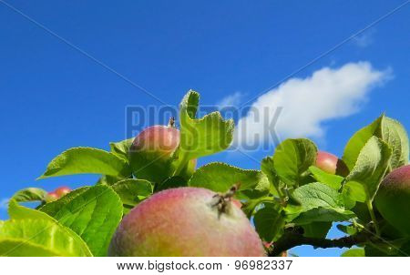 Apples on green leaves with a blue sky background