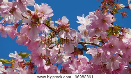 Blooming cherry tree on a blue sky