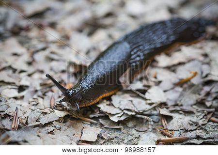 Slug On Dry Leafs