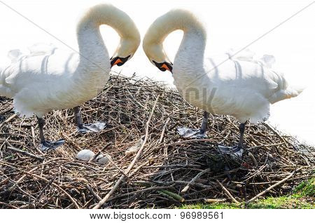 Two Swans On The Nest