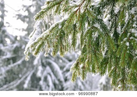 Frost on Pine Tree