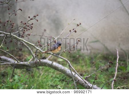 Common Redstart On Twig