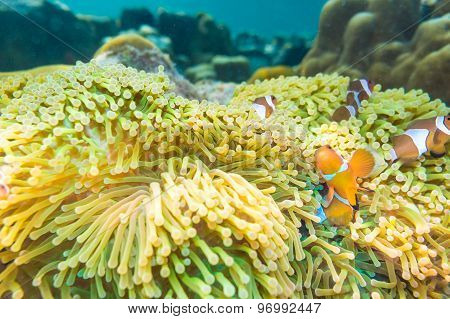 Nemo Fish With Host Anemone