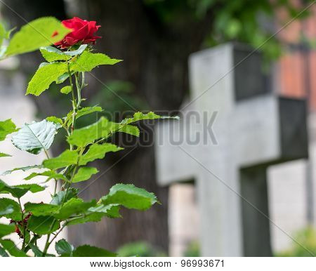 Roses and cross in graveyard.