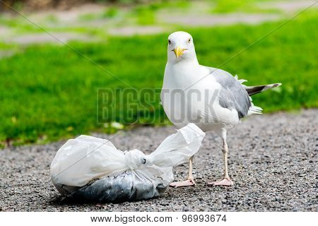 Seagull with plastic bag of food in park.