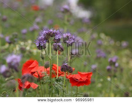 Blue Tansy With Poppy