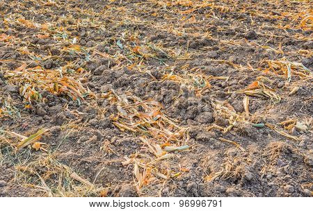 End Of The Summer, Dried Corn After Harvesting.