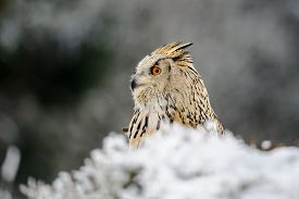 stock photo of snow owl  - Eurasian Eagle Owl sitting on the ground with snow in winter time. Freeze weather with closeup raptor.