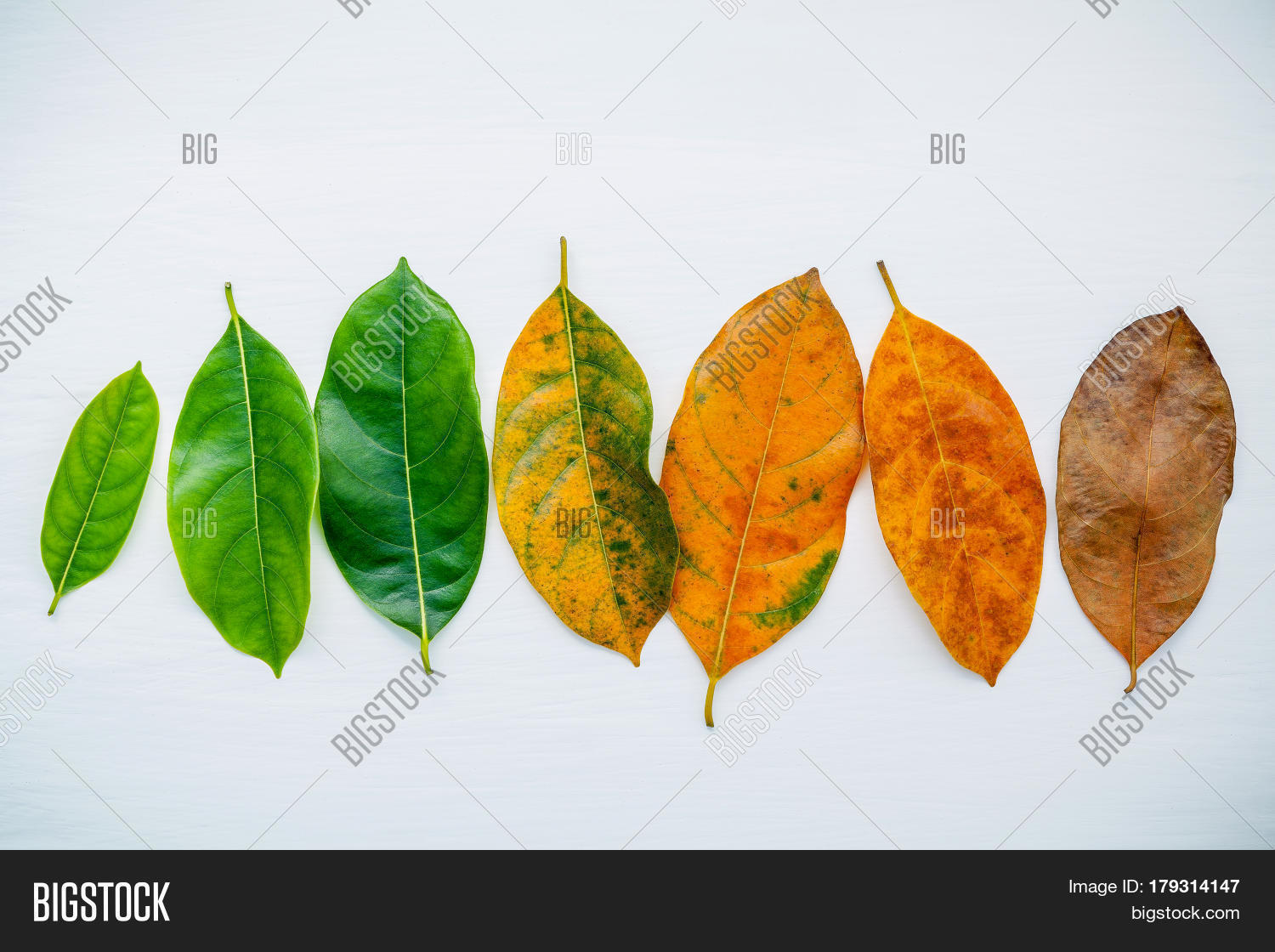 Jack fruit tree leaves