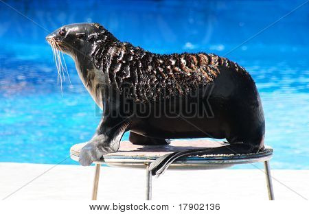 Fur Seal Performing At Circus