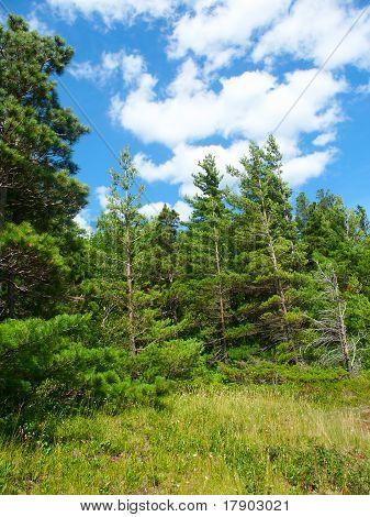 Pine Woodlands - Michigan