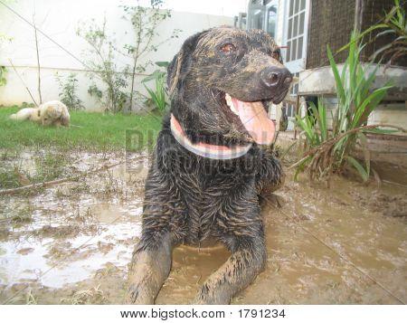 Cão feliz Labrador macho preto jogando na lama com uma cadela Samoieda branca