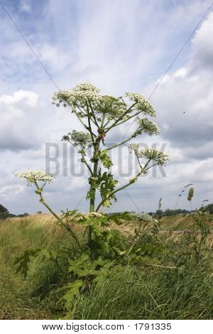 Hogweed Or Cow Parsnip