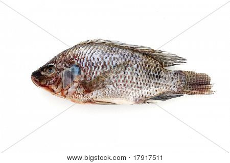 Dead tilapia fish on a white background