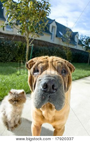 A Sharpei dog and a persian cat looking curious to the camera