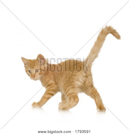 Ginger Cat Kitten