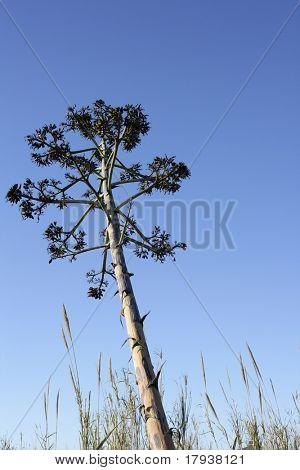 Agave, pitera, cactus from mediterranean sea shore, spain