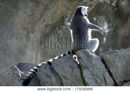 Madagascar Lemur under magical light, getting warm with sun