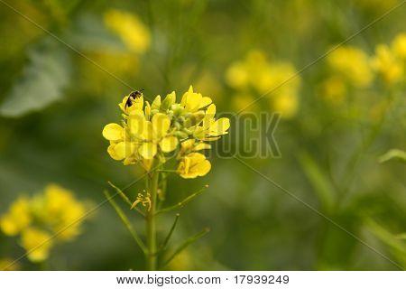 Sinapis Aiba, campo de flor amarillo mostaza verde
